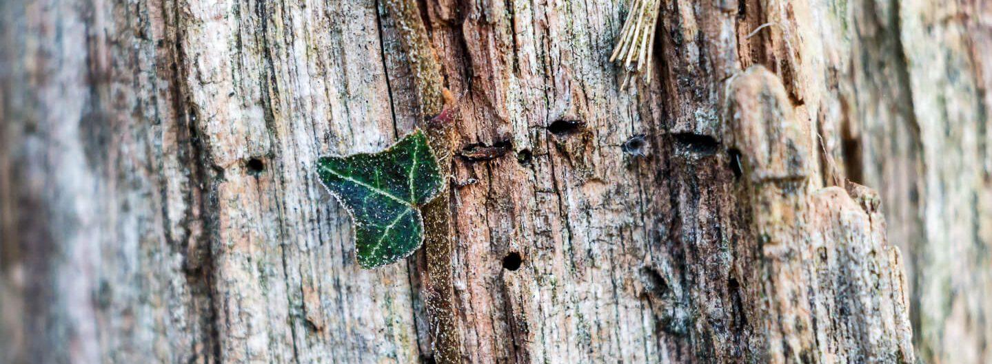 Lichtgetrieben, Efeu Blatt auf Holzstamm, Makro