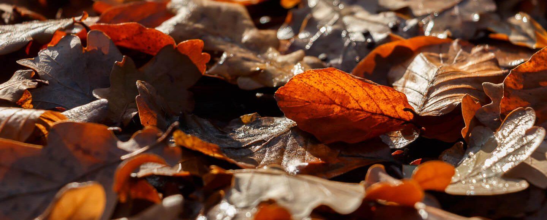 Lichtgetrieben, Herbstlaub im Gegenlicht, Makro